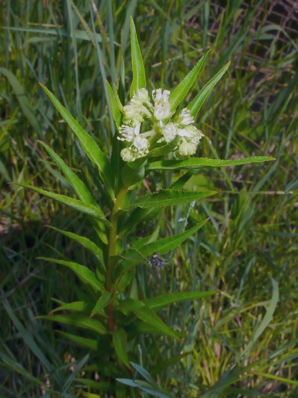 タコノアシ 花序