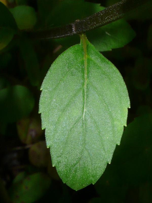 ハッカ類 葉