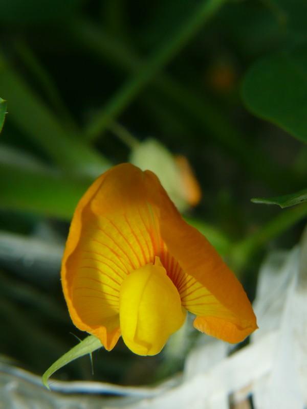 ラッカセイ 花