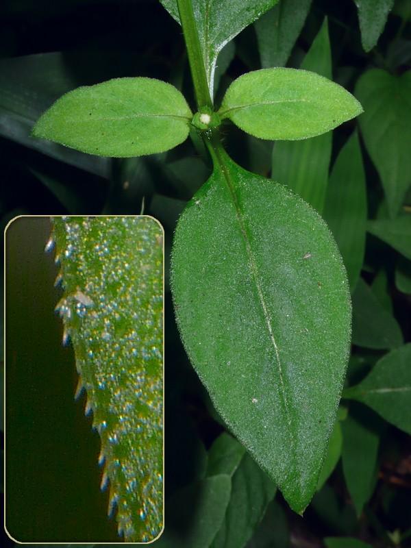 ハシカグサ 葉