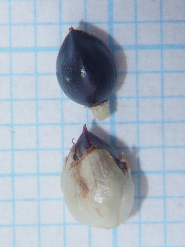 サデクサ 果実・種子