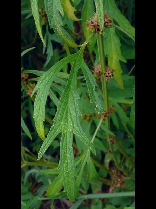 メハジキ 下部と中部の葉