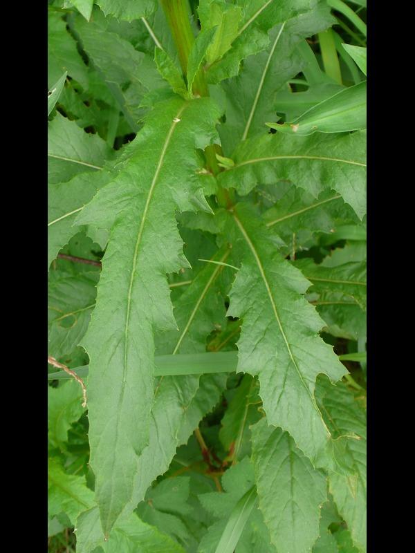ダンドボロギク 大型個体の葉