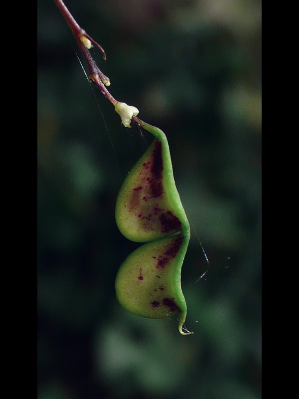ヌスビトハギ 果実