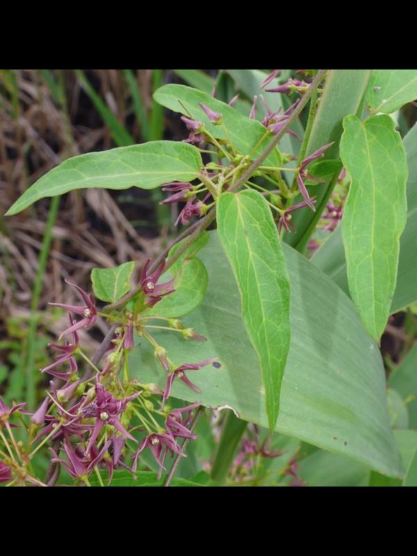 コバノカモメヅル 葉