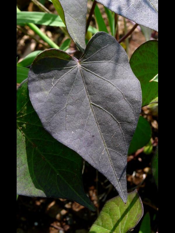 マメアサガオ 黒い葉