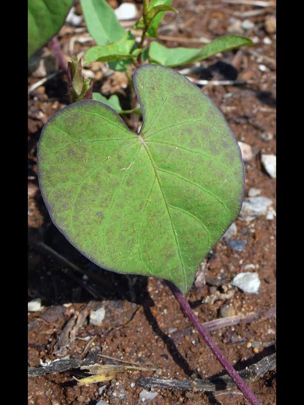 マメアサガオ 若い葉