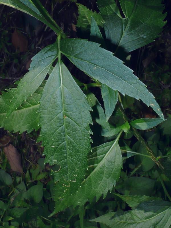 フジバカマ 3裂葉