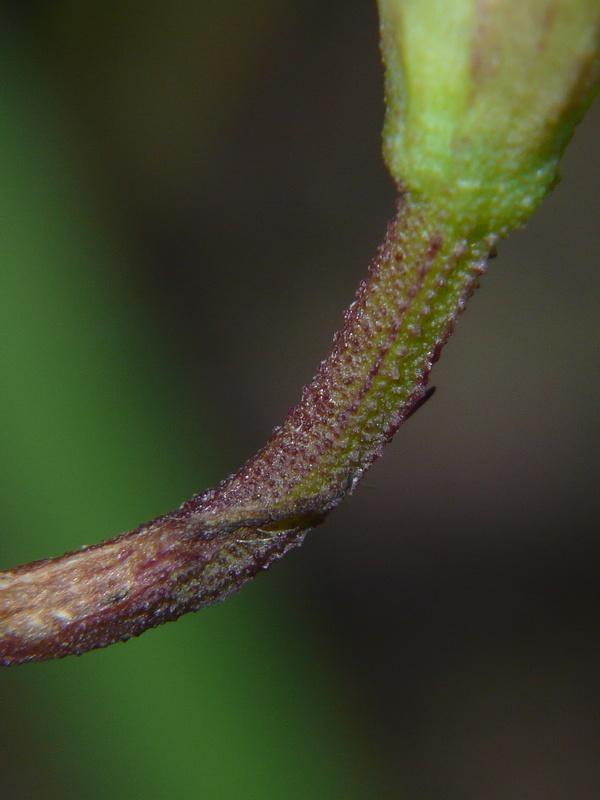 マメアサガオ 小花柄いぼ状突起