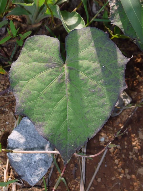 マメアサガオ ツノのある葉