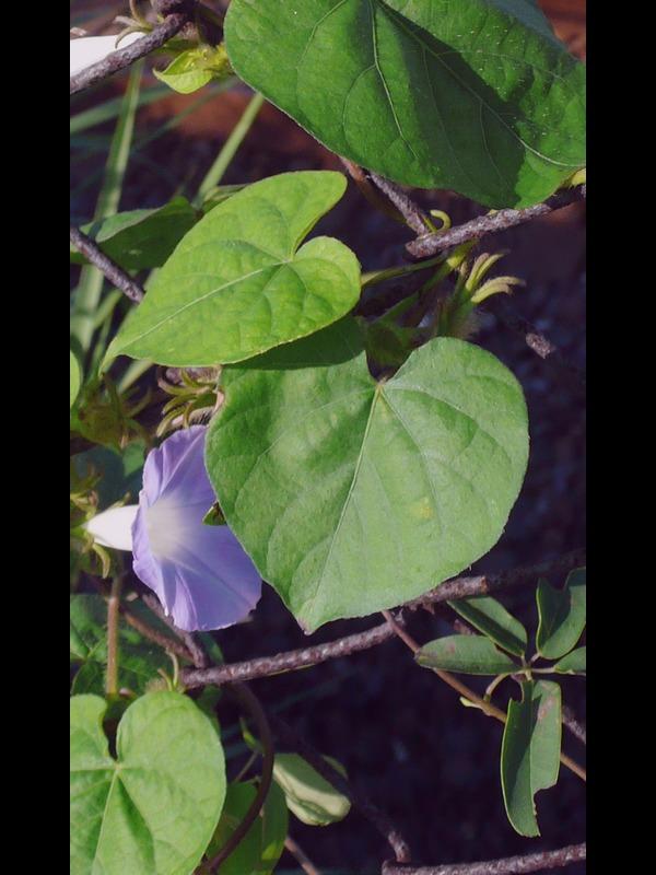 マルバアメリカアサガオ 葉