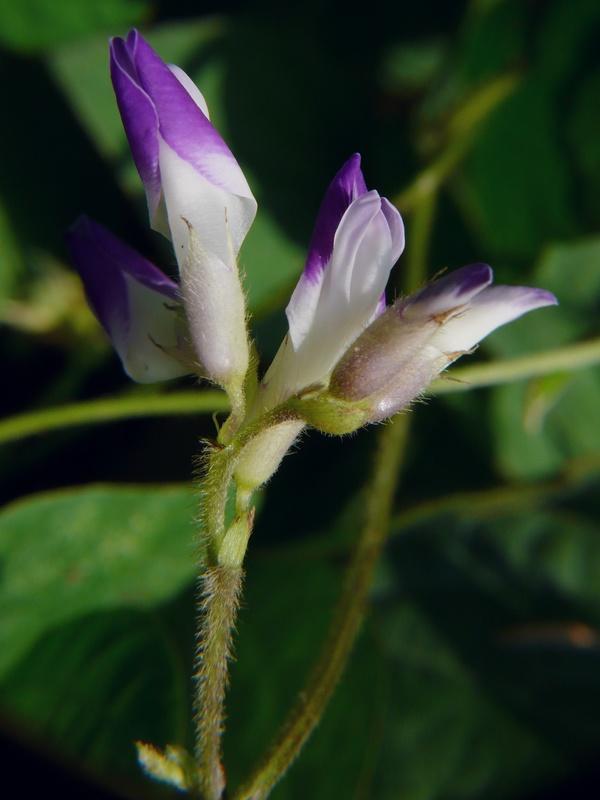 ヤブマメ 花