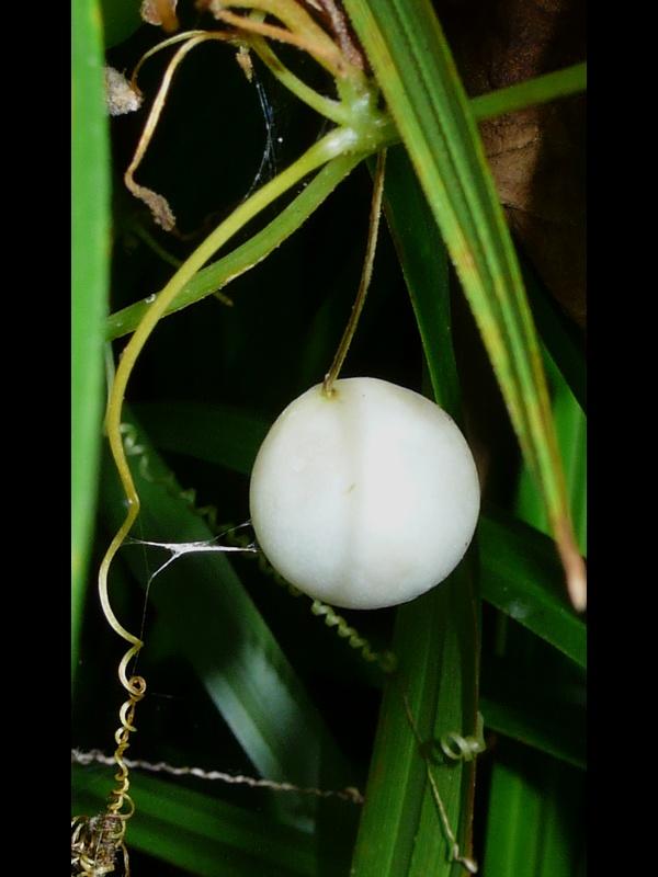 スズメウリ 白い果実