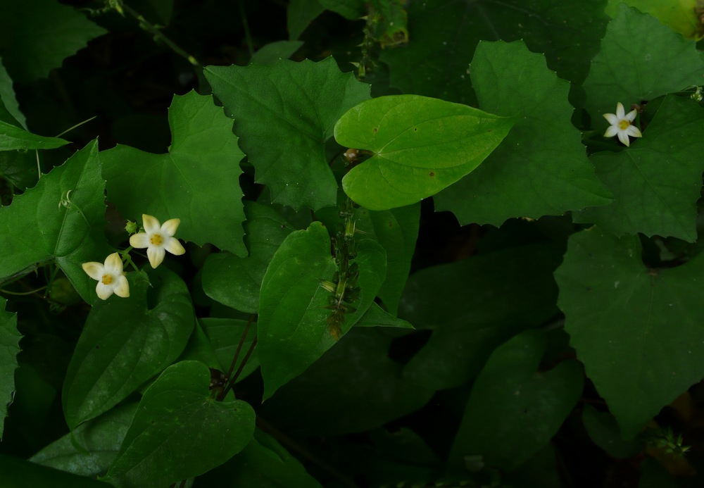 スズメウリ 色々な裂数の花冠