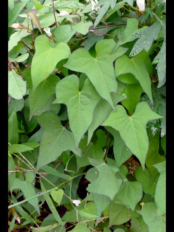 マメアサガオ 3裂の葉