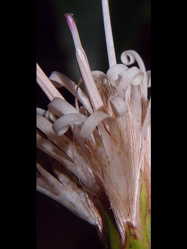 コウヤボウキ ひとつの筒状花