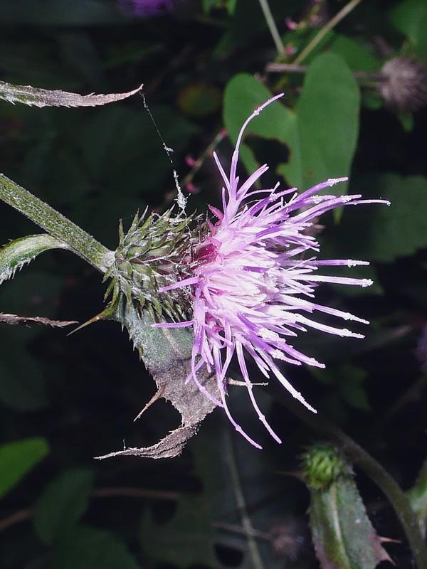 トネアザミ 頭花