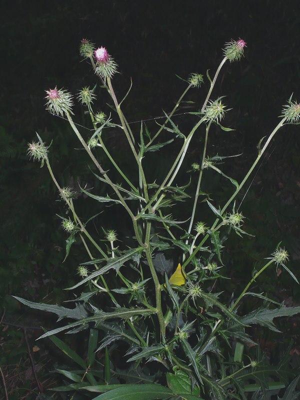 トネアザミ 花序
