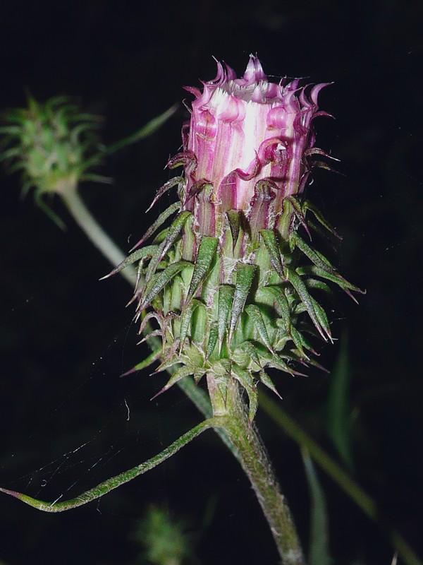 トネアザミ 頭花開花前