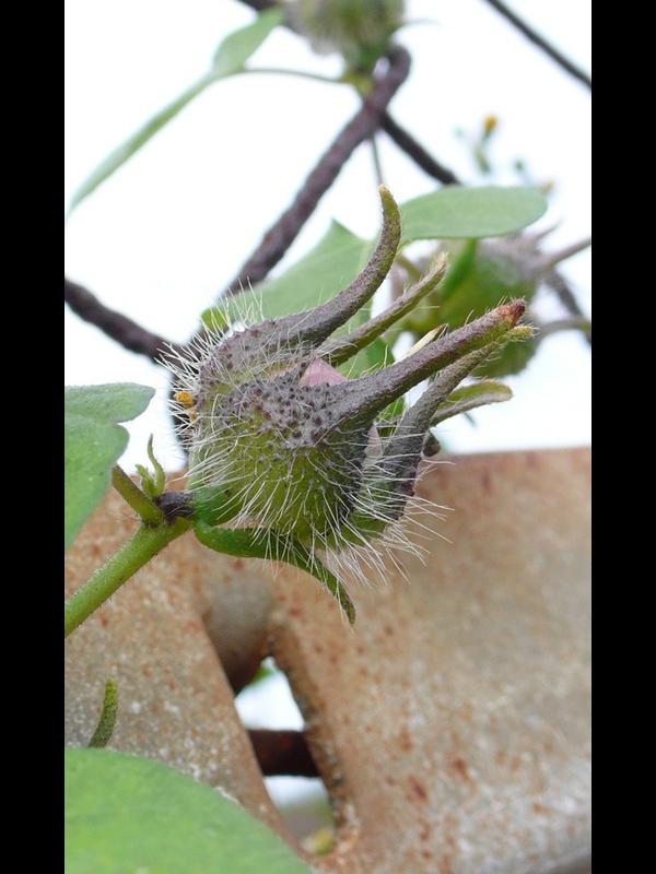 マルバアメリカアサガオ 若い果実