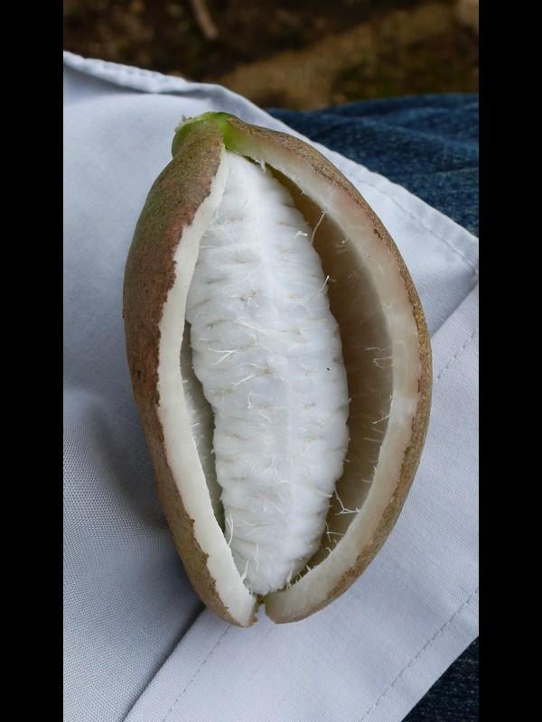 アケビ 熟した果実
