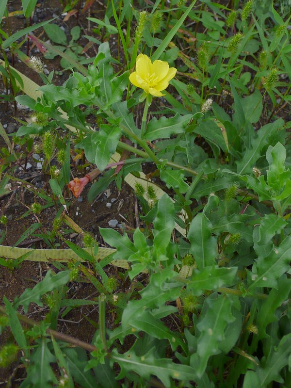 コマツヨイグサ 花