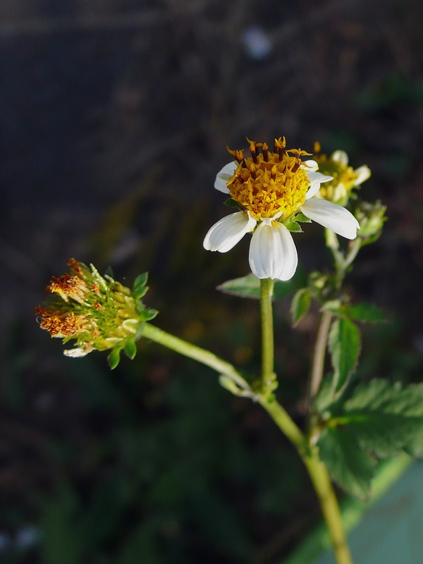 コシロノ風アイノコセンダングサ 頭花
