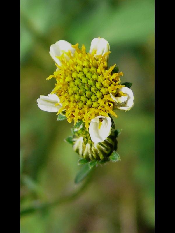 アイノコセンダングサ 頭花