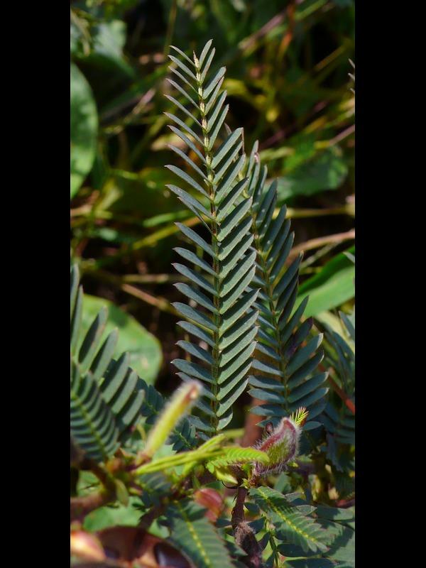 カワラケツメイ 葉