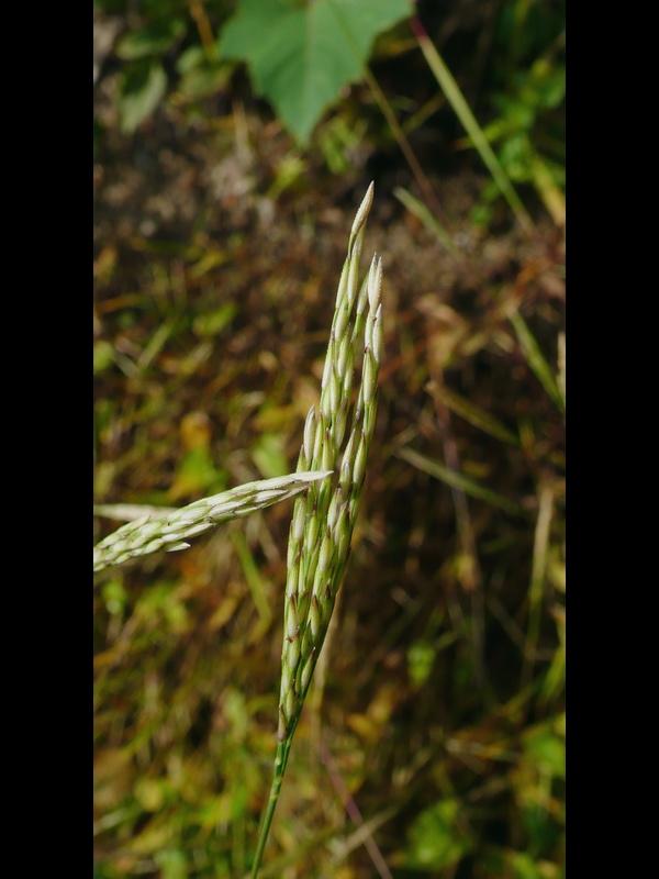 コブナグサ 緑の花序