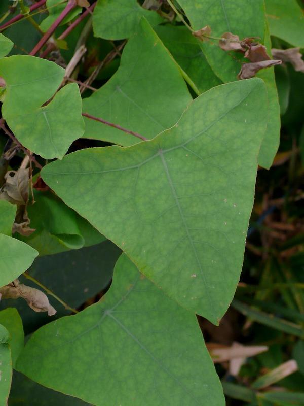 イシミカワ 葉
