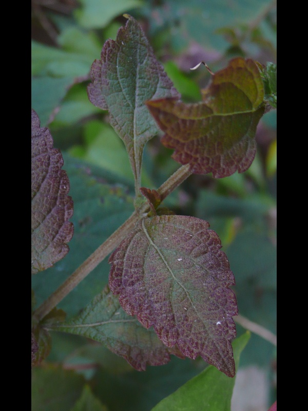 ヤマハッカ 葉・茎