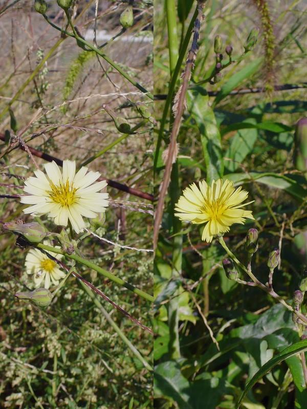 アキノノゲシ ふたつの花色