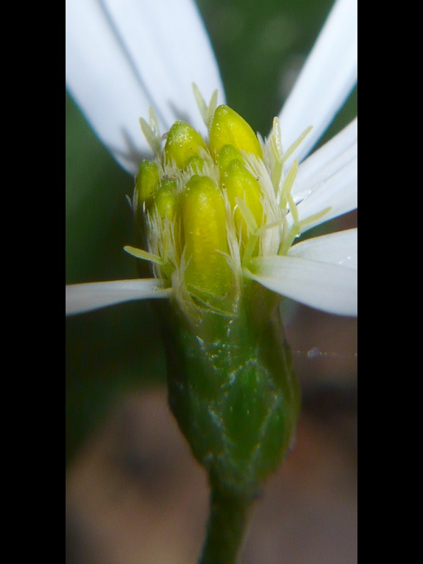 シロヨメナ 頭花横から