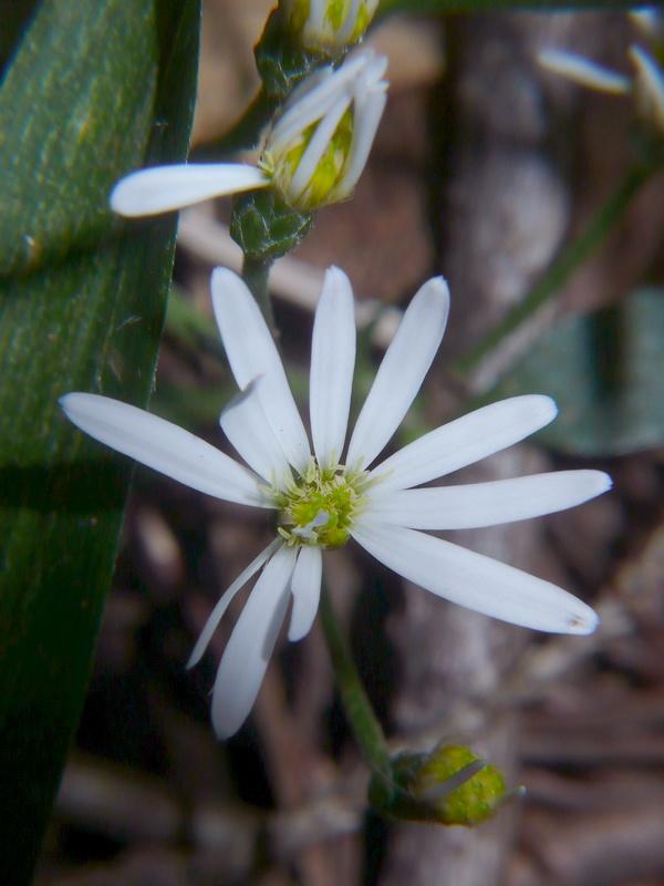 シロヨメナ 頭花