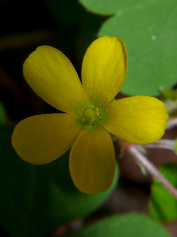 カタバミ 花