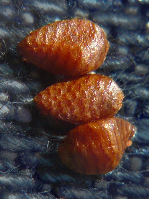 カラスノゴマ 種子