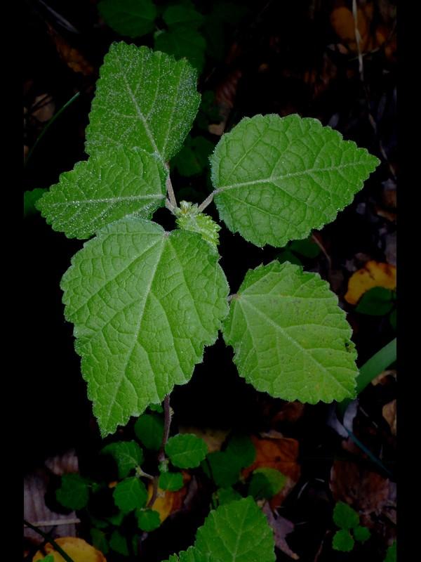 カラスノゴマ 葉
