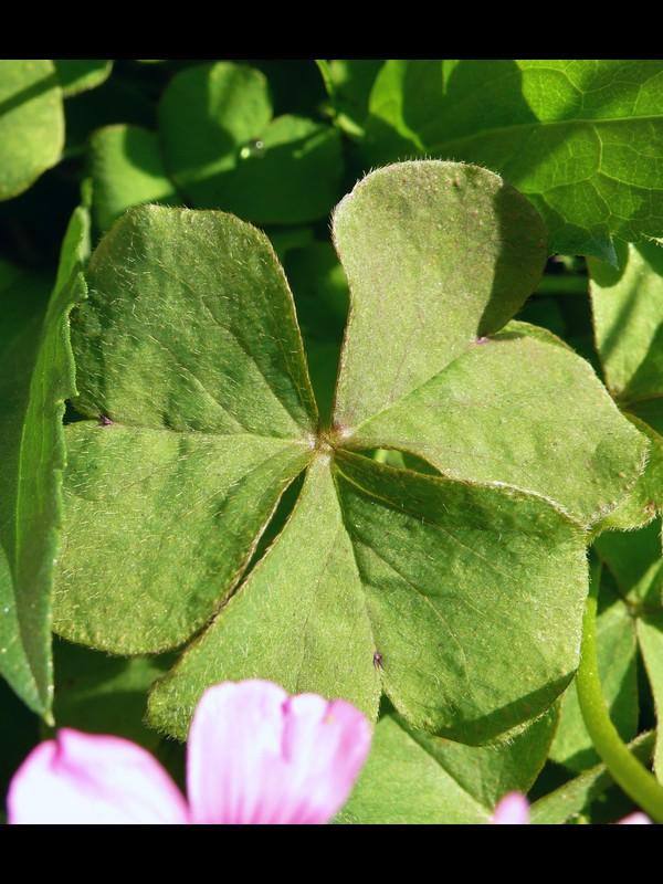 イモカタバミ 葉