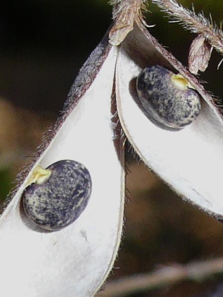 ヤブマメ  種子の拡大