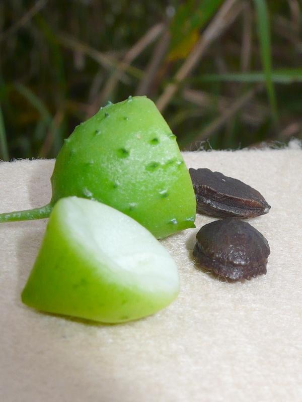 ゴキヅル 果実・種子