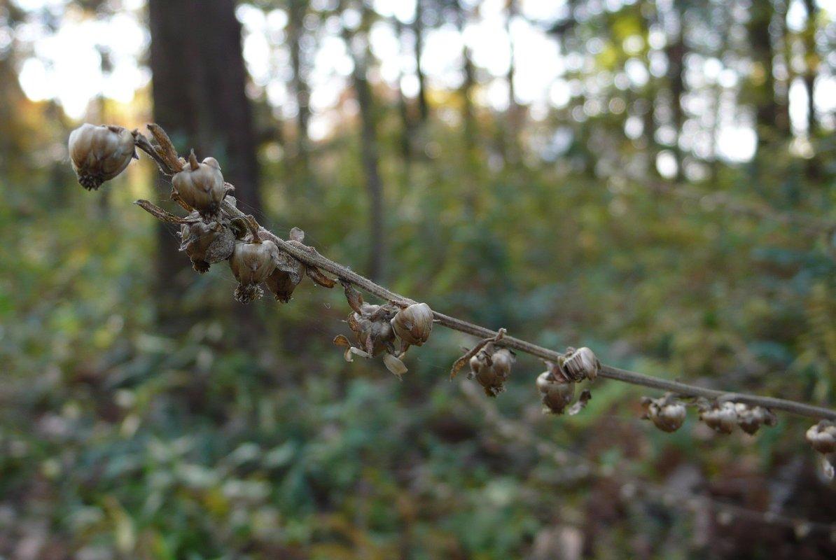 ヤブタバコ 果実期の枝