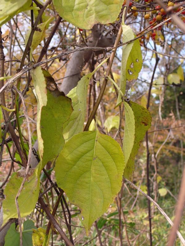 ツルウメモドキ 冬の葉