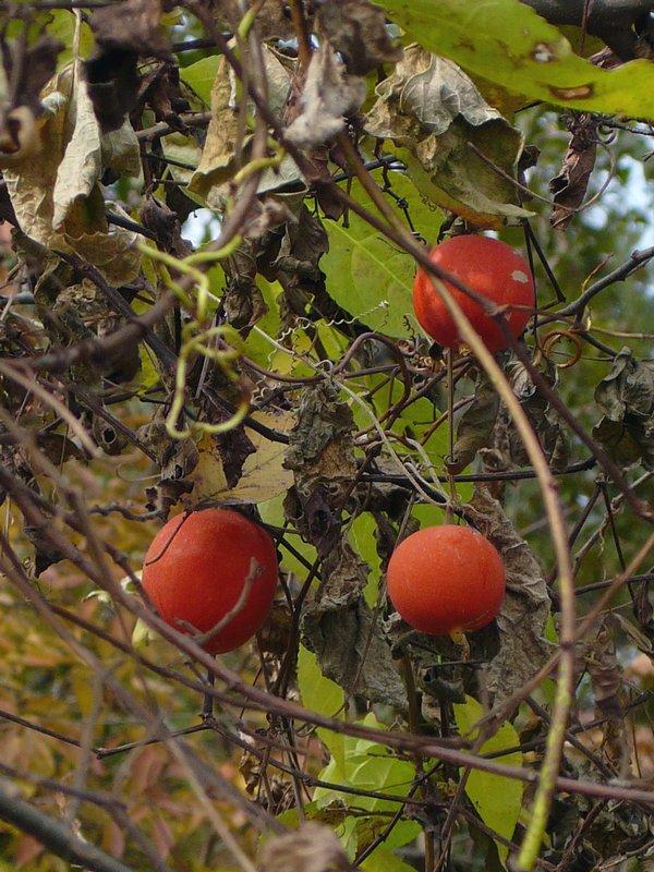 カラスウリ 丸い実の群落
