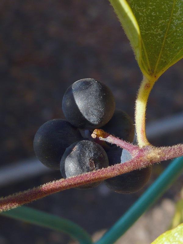 アオツヅラフジ 果実