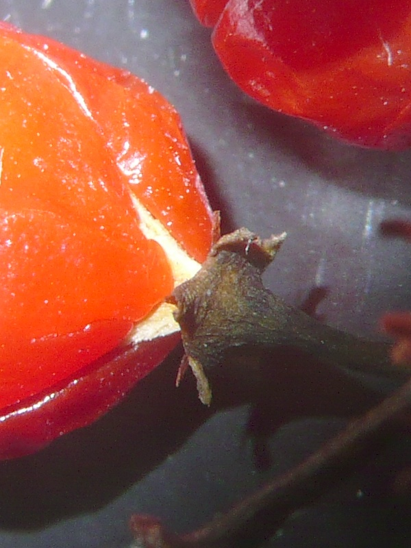ツルウメモドキ 果実