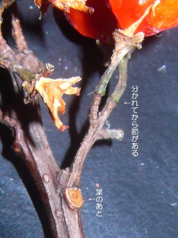 ツルウメモドキ 小花柄