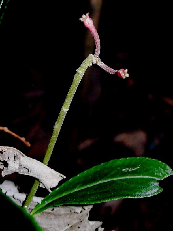 カラタチバナ 花後の花序