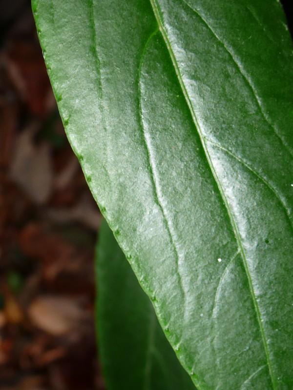 カラタチバナ 葉表の拡大