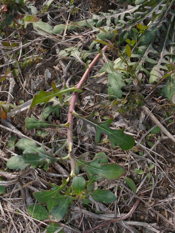 コマツヨイグサ ロゼットから伸びた枝